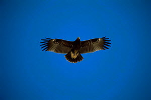 Greater spotted eagle in flight {Aquila clanga}. Muscat, Oman, December  -  Hanne & Jens Eriksen