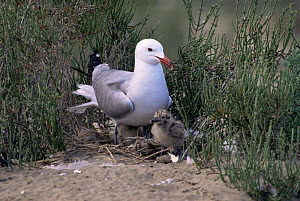 Audouin's gull {Larua audouinii} with chick, Delta del Ebro National Park, Catalonia, Spain  -  Juan Manuel Borrero