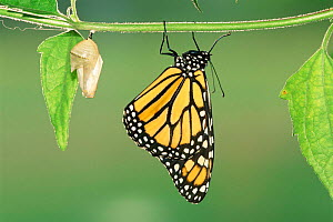 Monarch butterfly just emerged from chrysalis {Danaus plexippus} Texas, USA. - Rolf Nussbaumer