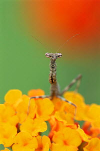 Praying mantis {Mantidea} on Texas lantana flowers, Texas, USA. - Rolf Nussbaumer