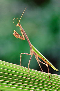 Praying mantis {Mantidea} cleaning antenna, Texas, USA. - Rolf Nussbaumer