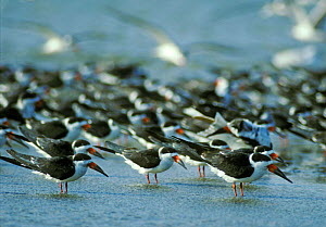 Black skimmers {Rynchops nigra} Texas, USA - David Kjaer