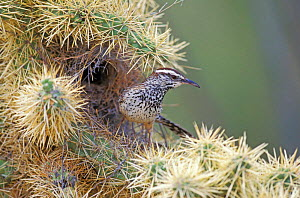 Cactus wren at nest in cactus {Campylorhynchus brunneicapillus} Texas, USA  -  David Kjaer