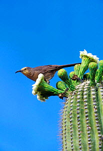 Curve billed thrasher on saguaro cactus {Toxostoma curvirostre} Arizona, USA Sonoran Desert  -  David Kjaer