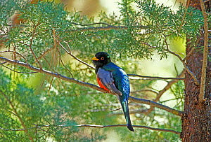 Coppery tailed / Elegant trogon {Trogon elegans} male, Arizona, USA  -  David Kjaer