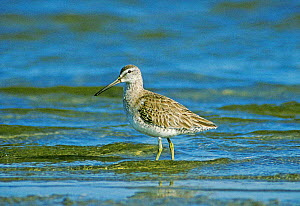 Short billed dowitcher {Limnodromus griseus} Texas, USA - David Kjaer