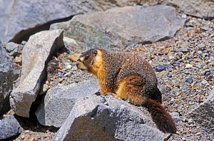 Yellow bellied marmot {Marmota flaviventris} Yosemite, California, USA  -  David Kjaer
