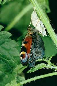Peacock butterfly emerging from pupa {Inachis io} Switzerland  -  Rolf Nussbaumer