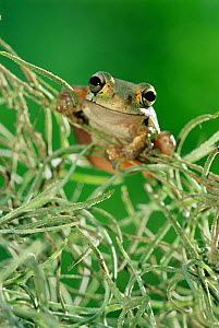 RF- Mexican treefrog (Smilisca baudinii) on Spanish moss. Texas, USA. (This image may be licensed either as rights managed or royalty free.)  -  Rolf Nussbaumer