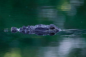 American alligator submerged {Alligator mississipiensis} Sanibel Is, Florida, USA.  -  Rolf Nussbaumer