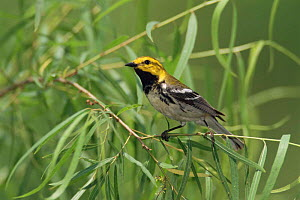 Black throated green warbler, male {Dendroica virens} Texas, USA.  -  Rolf Nussbaumer