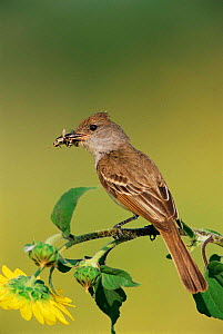 Brown crested flycatcher {Myiarchus tyrannulus} with insect prey, Texas, USA.  -  Rolf Nussbaumer