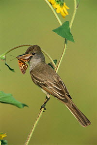 Brown crested flycatcher {Myiarchus tyrannulus} with butterfly prey, Texas, USA.  -  Rolf Nussbaumer