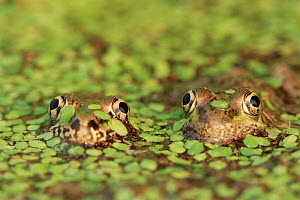 RF- Rio Grande leopard frog (Rana berlandieri) pair in duckweed. Texas, USA. (This image may be licensed either as rights managed or royalty free.) - Rolf Nussbaumer