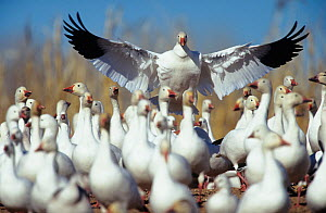 Snow goose {Chen caerulescens} landing amongst flock, New Mexico, USA. - Barry Mansell
