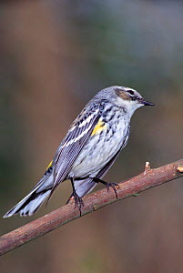 Yellow rumped warbler {Dendroica coronata} Florida, USA  -  Barry Mansell