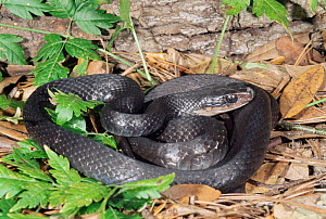 Southern black racer snake {Coluber constrictor priapus} Florida, USA.  -  Barry Mansell