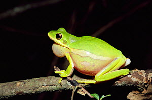 Green tree frog calling {Hyla cinerea} Florida, USA.  -  Barry Mansell