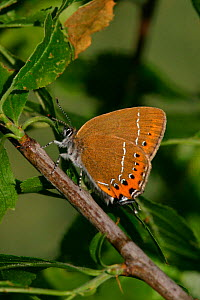 Black hairstreak butterfly, female {Satyrium pruni} England  -  Paul Hobson