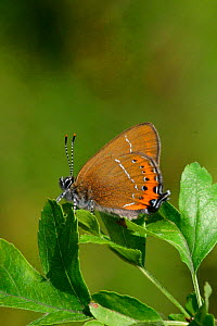Black hairstreak butterfly, male {Satyrium pruni} England  -  Paul Hobson