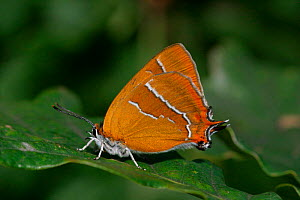 Brown hairstreak butterfly {Thecla betulae} on oak leaf, England - Paul Hobson
