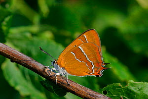 Brown hairstreak butterfly {Thecla betulae} on blackthorn, England - Paul Hobson