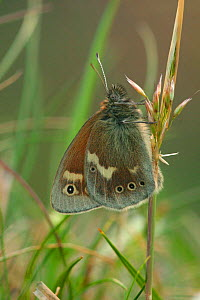 Large heath butterfly {Coenonympha tullia} Yorkshire, England - Paul Hobson