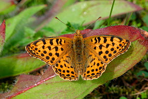 Queen of Spain fritillary butterfly {Issoria lathonia} Spain  -  Paul Hobson