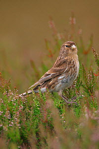 Twite in heather {Acanthis flavirostris} Yorkshire, England  -  Paul Hobson