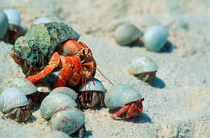 Land hermit crabs of various sizes {Coenobita perlatus} Lakshadweep, India - Georgette Douwma