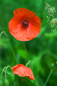 Common poppy {Papaver rhoeas} England  -  Georgette Douwma