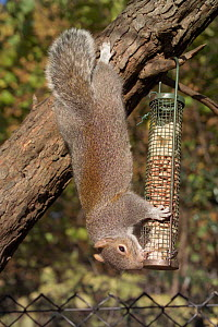 Grey squirrel feeding from bird feeder {Sciurus carolinensis} England  -  Georgette Douwma