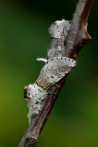 Sallow kitten moths mating {Cerula / Furcula furcula} Yorkshire, England  -  Paul Hobson