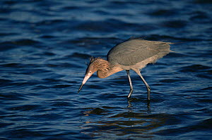 Reddish egret fishing {Egretta rufescens} Arizona, USA  -  Tom Vezo