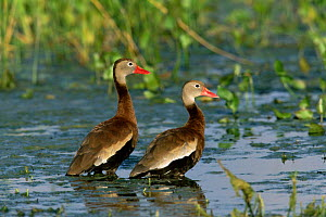 Black bellied whistling duck pair {Dendrocygna autumnalis} Texas, USA  -  Tom Vezo