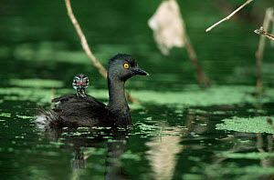 Least grebe carrying chick on back {Tachybaptus dominicus} Texas, USA - Tom Vezo