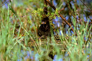 Least grebe on nest {Tachybaptus dominicus} Texas, USA - Tom Vezo
