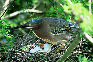 Green heron with eggs on nest {Butorides virescens} Mexico  -  Tom Vezo