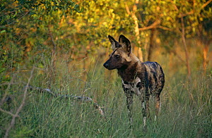 African wild dog on alert {Lycaon pictus} southern Africa - Ron O'Connor