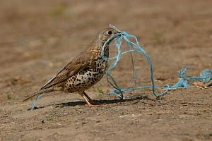 Mistle thrush {Turdus viscivorus} collecting bailer twine for nesting material.  -  Paul Hobson