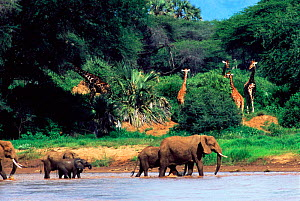 African elephants crossing river {Loxodonta africana} with Giraffes in forest behind. Kenya - Karl Ammann