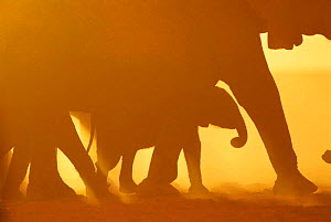 Silhouette of African elephants at sunset {Loxodonta africana} Kenya - Karl Ammann