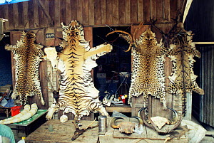 Illegal wildlife products for sale including tiger and leopard skins, Tachileh, Burma  -  Karl Ammann