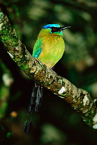 Blue crowned motmot {Momotus momota} Costa Rica  -  Tom Vezo