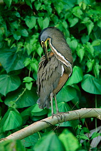 Bare throated tiger heron preening {Tigrisoma mexicanum} Tortugero NP, Costa Rica  -  Tom Vezo