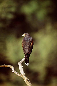 Harris hawk {Parabuteo unicinctus} Arizona, USA.  -  Tom Vezo