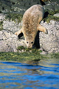Common seal entering sea {Phoca vitulina} Isle of Mull, Scotland - Michael Hutchinson