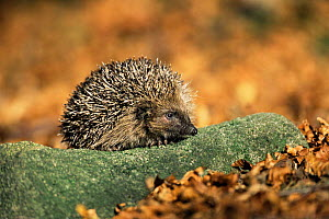 Hedgehog in beech woodland {Erinaceus europaeus} Derbyshire, UK  -  Andrew Parkinson