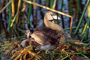 Pied-billed grebe with chick on back in nest {Podilymbus podiceps} Texas, USA - Tom Vezo