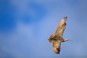 Long billed curlew flying + calling {Numenius americanus} Idaho, USA  -  Tom Vezo